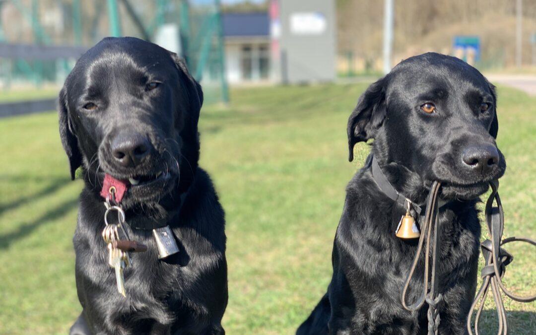2 nya ledarhundar: Alfons & Glenn